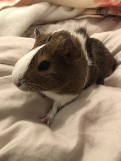 Female guinea pig for sale