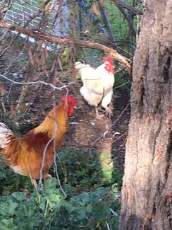 Roosters available