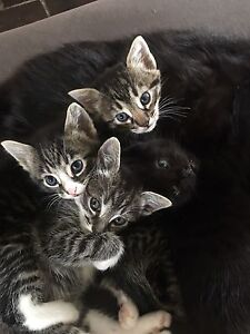 Kittens Clarence Town Dungog Area Preview