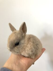 Netherland Dwarf Bunnies - Cute and social baby bunnies