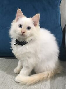Red Flame Point Ragdoll Kittens All Vet work done