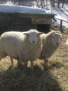 9month old lambs.