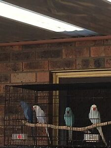 Indian Ringneck Parrot Kariong Gosford Area Preview