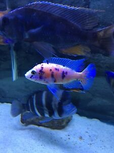 Adult Male Strawberry Peacock African Cichlid for sale