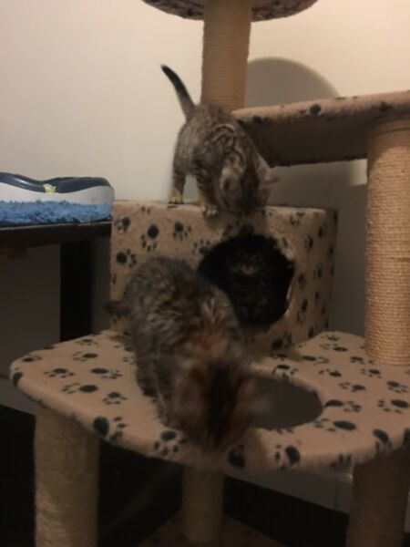 Toyger Kittens Available   Cats & Kittens   Gumtree Australia
