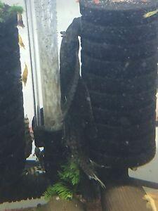 Longfin female bristlenose pleco Petersham Marrickville Area Preview