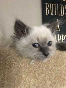 Purebreds Ragdoll Kittens