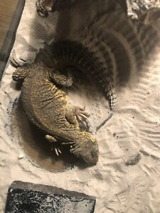 7 month old uromastyx