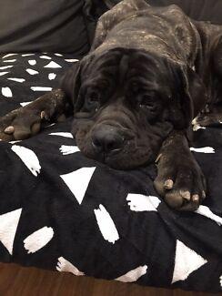 Neapolitan Mastiff - Thor
