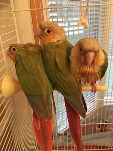 Baby pineapple conures