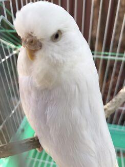 Adult female albino show budgie