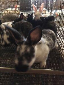 Heavy Meat Rabbits