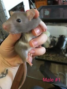 4 male rats left !! Cute Easter present !