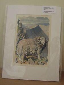 CHARLES TUNNICLIFFE HERDWICK RAM ORIGINAL 1949 MOUNTED PRINT; ART. SHEEP.FARMING