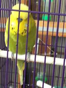 English show budgies Ingleburn Campbelltown Area Preview