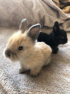 Adorable Baby Lionheads for Sale!!