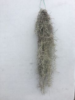Spanish Moss? Old Mans Beard - Healthy Bunch