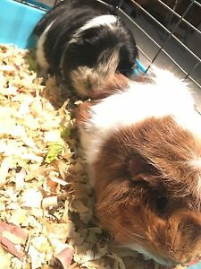Two Female Guinea Pigs Including Cage $20 MUST GO ASAP!!