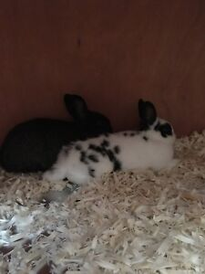 2 dwarf bunnies looking for a new home!!