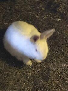 Male Flemish Giant rabbit