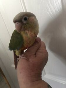 Pineapple conure female 9 weeks old $120 pick up meadow heights