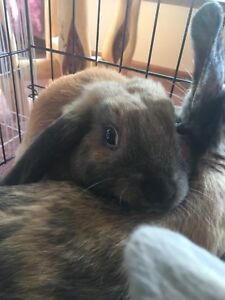 Ready to go now! BABY BUNNIES Netherland Dwarf & Mini Lop