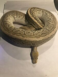 Proven Breeder Jigsaw Blast Ball Python Female