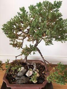 Juniper bonsai Mosman Mosman Area Preview