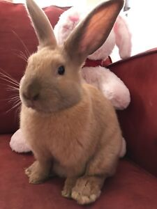 Friendly cuddly pet bunny for rehome!