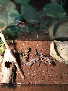 Gecko et terra