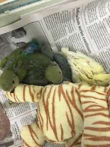 Hand Fed Baby Lovebirds for sale