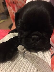 Pug puppy West Tamworth Tamworth City Preview