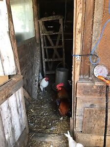 Assorted Roosters For Sale