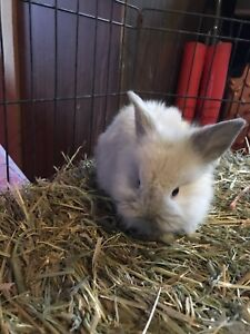 2 male bunnies ready to go now! Holland lop/lion head cross