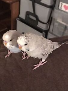 2 super hand tame friendly baby budgies plus cage Jimboomba Logan Area Preview