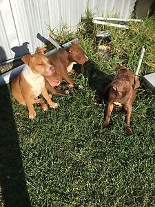 Male amstaff puppies for sale Picton Wollondilly Area Preview