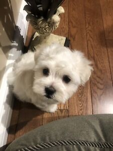 Maltese | Adopt Dogs & Puppies Locally in Ontario | Kijiji