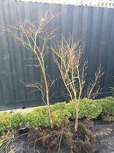 Maple trees for sale Mentone Kingston Area Preview