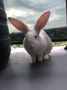 If you want a Bunny in Adoption FREE!