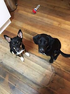 Missing Pups possibly stolen Nathalia Moira Area Preview