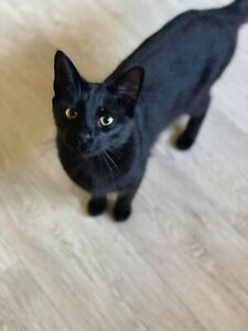 Black bonded pair of cats