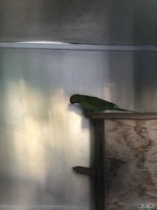 Indian ring neck x mustache | Birds | Gumtree Australia Penrith