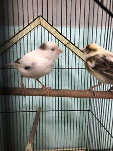 One Lovely Canary ($150 OBO)