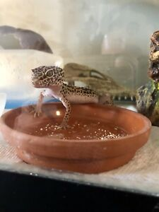 Two female leopard geckos with tank