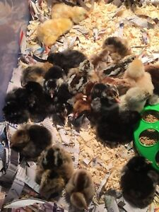 Chicks for sale.