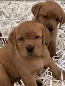 Red Fox Lab | Kijiji in Ontario  - Buy, Sell & Save with