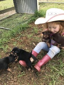 Pure bred Kelpie puppy's only three left