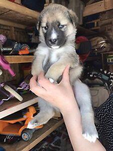 Portée de 8 Chiots husky à vendre