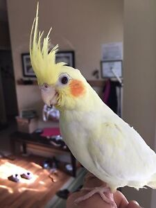 Male Lutino Albino Cockatiel 9 Weeks Old Weened and Ready