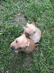 Puppies for sale Penrith Penrith Area Preview